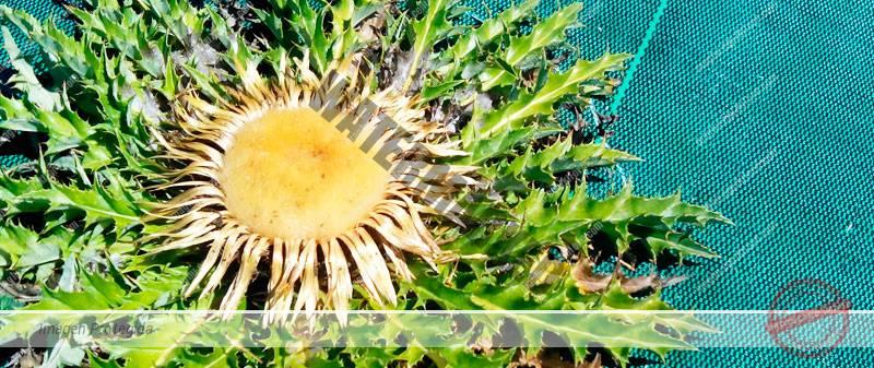 Cultivar tu propia flor Eguzkilore