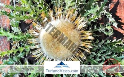 Eguzkilore, la planta protectora del pueblo vasco